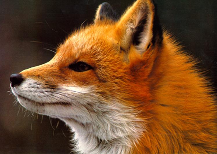 [close-fox-apr2.jpg]