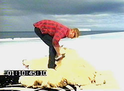 Temporary New Zealander shearing Shrek on iceberg
