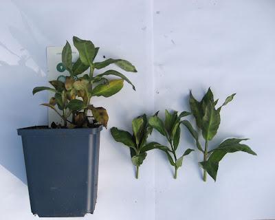 Rhododendron avlegger