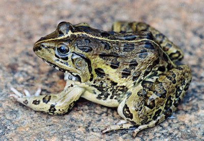 Indian Bullfrog - Hoplobatrachus tigerinus