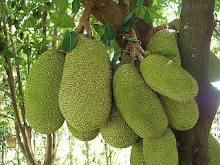 الفواكه الفواكه na_jaca.jpg