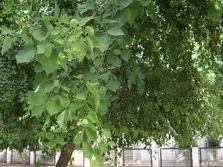 Herbs Treat And Taste Shisham Or Indian Rosewood Tree