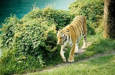 Save the tiger campaign essay
