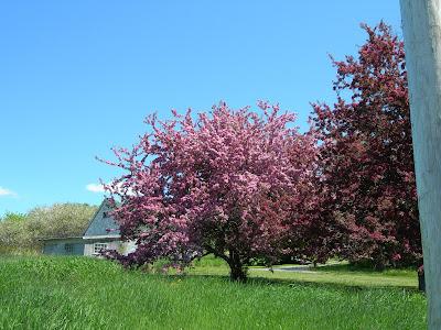 apple blossom time