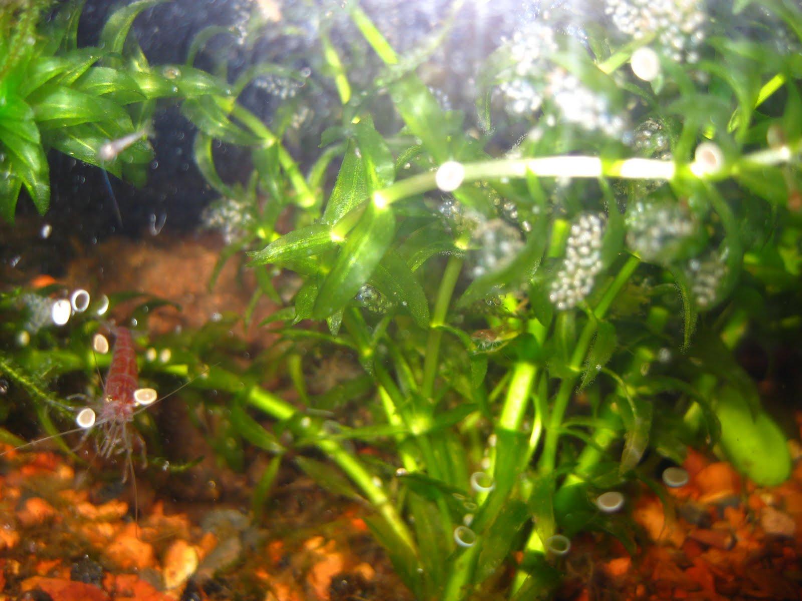 Collective Unconscious: Cherry Shrimp Eggs!!!