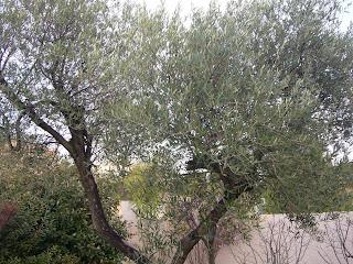 Lefty chronicles de la taille de l 39 olivier - Taille de l olivier ...