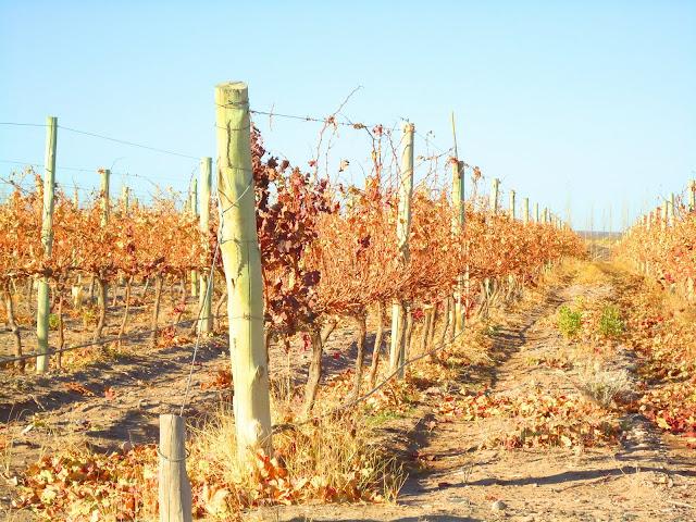 el cultivo de la vid en La Pampa