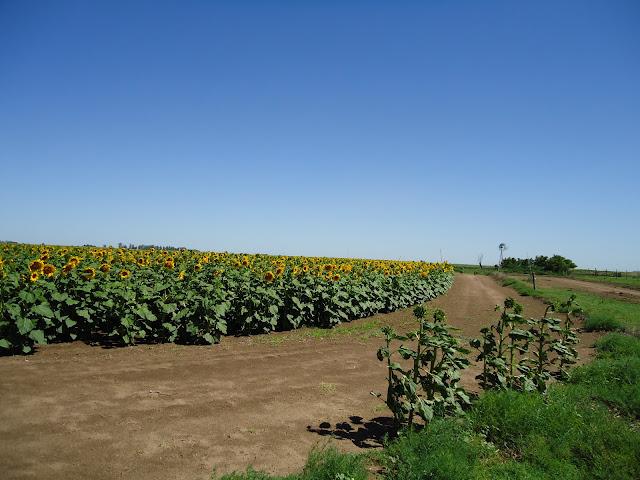 cultivo de Girasol en La Pampa