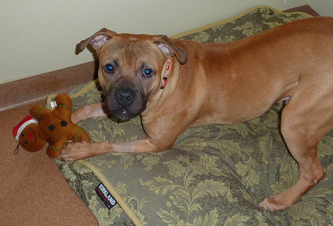 Bullmastiff dog mix with pitbull