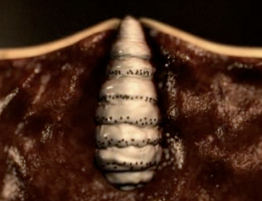 The attachment of the larvae to the tissue produces a mild irritation    Horse Bot Fly Larvae