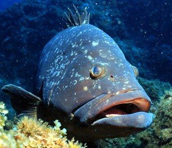 Resultado de imagem para peixe de lábios grossos