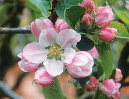 Favourite Apple Flower