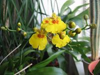 Blomstrende Oncidium i min vindueskarm