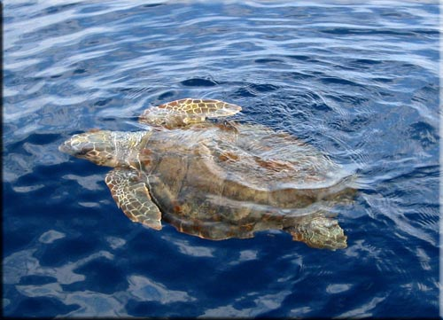 testuggine marina (Caretta Caretta)