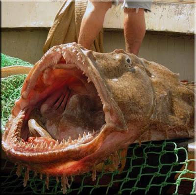rana pescatrice