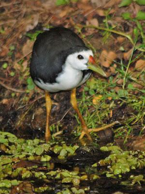 Kota Kinabalu Wetland park Waterhen