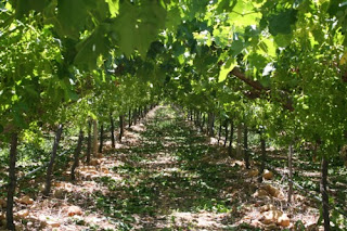 Opening the grape vine canopy & Opening the grape vine canopy - Free Grape Growing Tips and Help ...