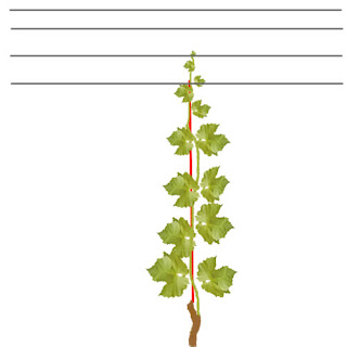 How To Split A Grape Vine Free Grape Growing Tips And Help To