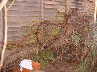Pruning A Never Before Pruned Grape Vine Free Grape Growing