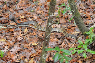 Eastern Cottonmouth at Audubon's Francis Beidler Forest by Mark Musselman