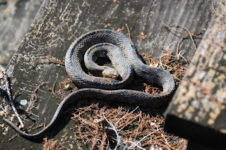Brown Water Snake at Audubon's Francis Beidler Forest by Mark Musselman