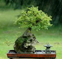 Bonsai no meio da Chuva