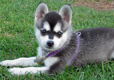 Alaskan Klee Kai Pup | Dog Breeds Index