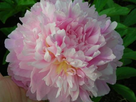 A Peony for Your Thoughts | Living with Plants