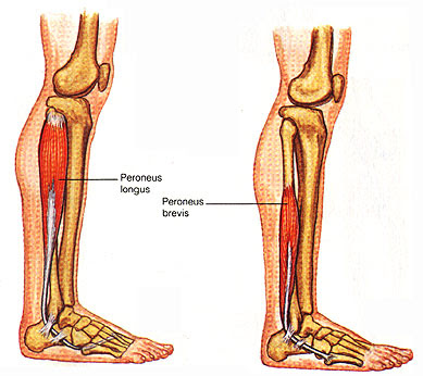 compartments of leg. Lateral Compartment of the leg