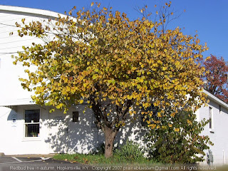 Redbud in autumn foliage