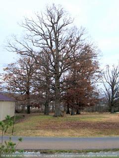 Big oak trees in Hopkinsville, KY
