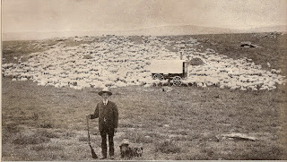 1920s montana shepherd a sheep