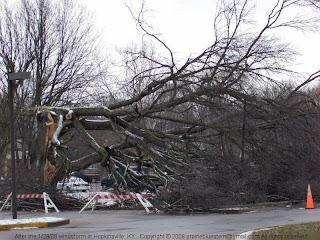 Big tree damaged by windstorm