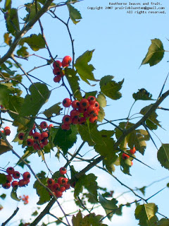 Hawthorn leaves and berries