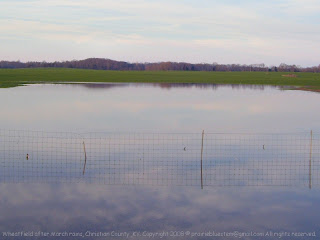 Flooded wheatfield
