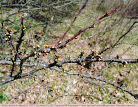Wild plum bud and twig