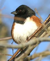 Eastern or rufous-sided towhee