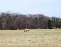 Cattle herd in Christian County, KY