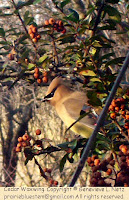 Closer look at cedar waxwing