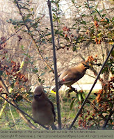 Cedar waxwings in the pyracantha bush