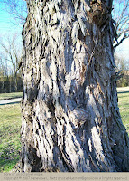Bark of an old silver maple
