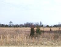 Eastern redcedar in an abandoned field