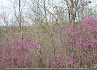 Redbuds and dogwood