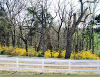 Forsythia thicket