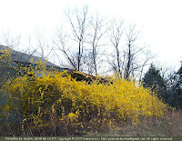 Another forsythia thicket