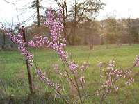Young redbud blooming