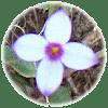Small bluet, Hedyotis caerulea