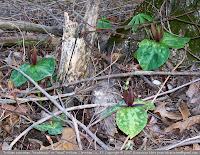 Trillium cuneatum, toadshade trillium