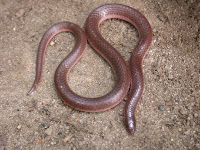 Image of worm snake, Carphophis amoenus