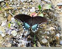 Spicebush swallowtail?